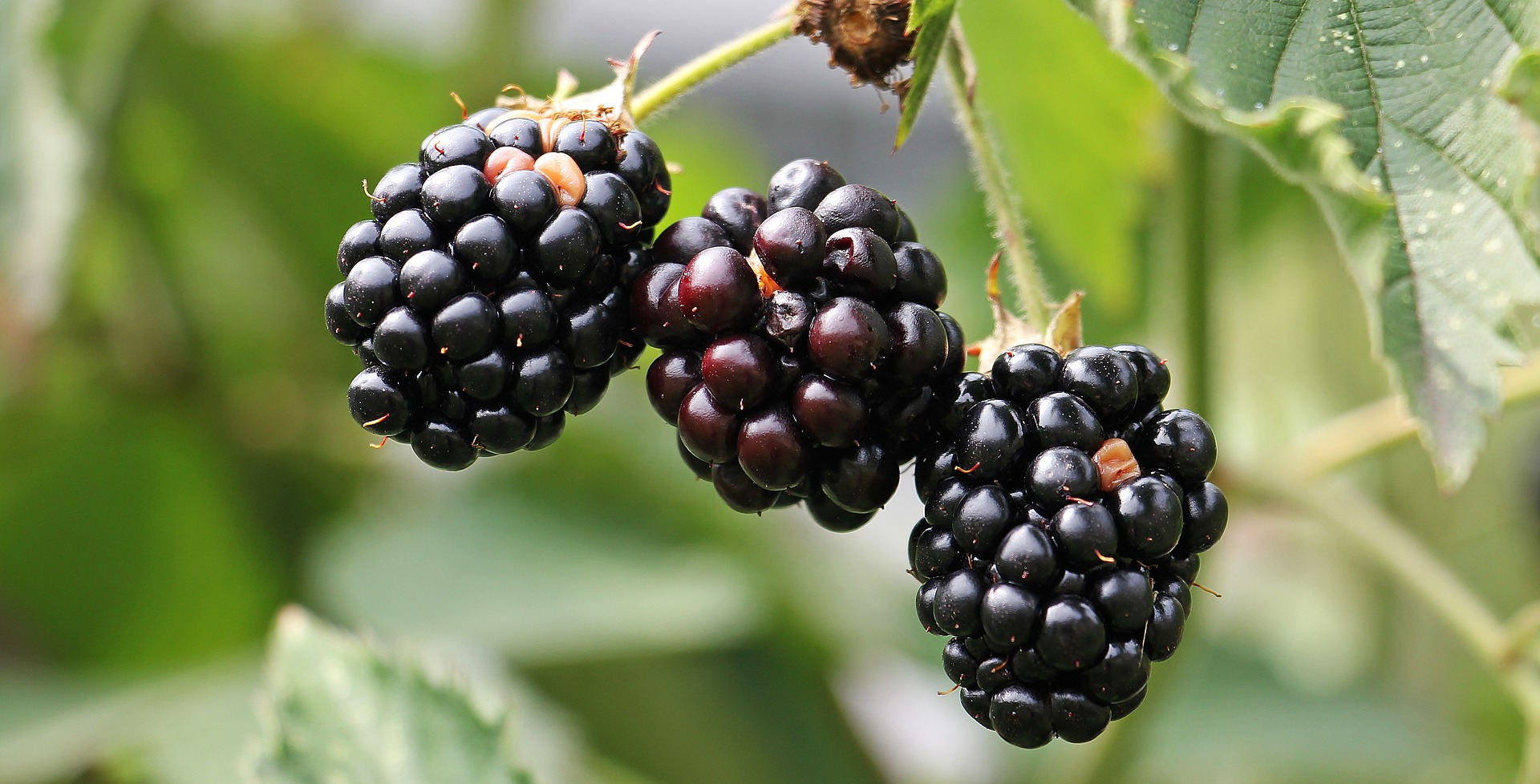 black berries need to harvest yourself garden you tend to